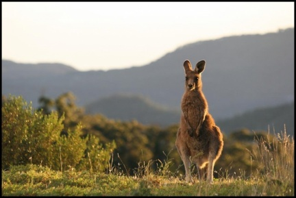 Wallaby next to the AAT Dome